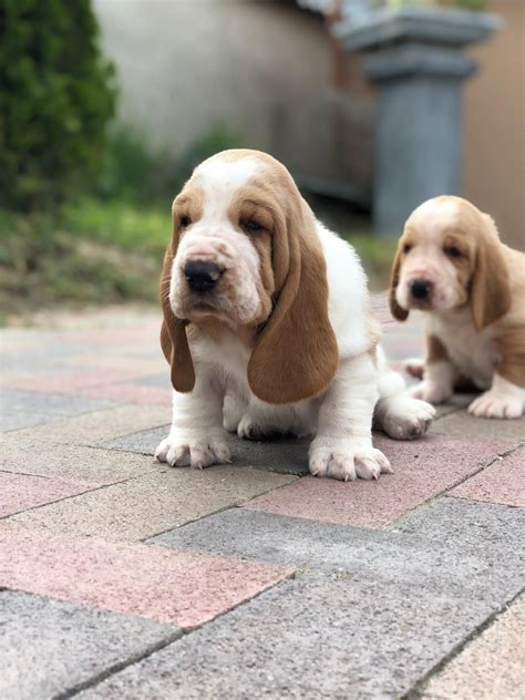 Basset Hound puppies for sale! (With images)   Baby basset